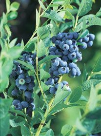 Blueberry Plants - For sale mid April and information on varieties and care
