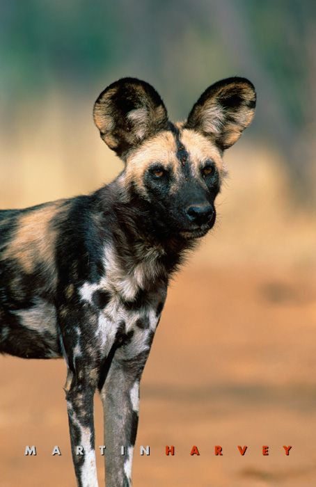 African Wild Dog-My absolute favorite african animal other than the lion of course (;