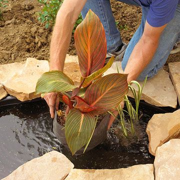 Canna-Cannas are favorite, old-fashioned plants that you may not have considered for the water garden. They add a refreshing, tropical feel to your landscape.
