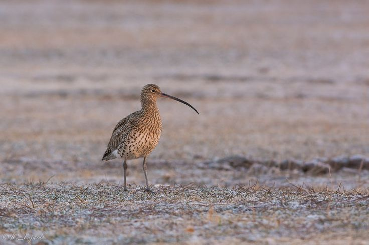"https://flic.kr/p/taHzNn | En los campos helados / In the ice fields | <a href=""http://jcfajardophotography.com/"" rel=""nofollow"">jcfajardophotography.com/</a>  Zarapito real / Eurasian curlew / Numenius arquata  Fotos hechas desde hide fijo  Photos taken from a fixed hide"