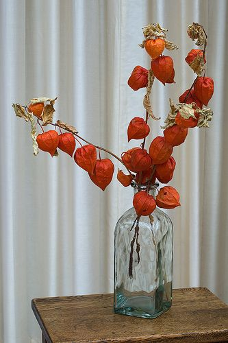 95 best images about 2- Chinese Lantern Plants on ...