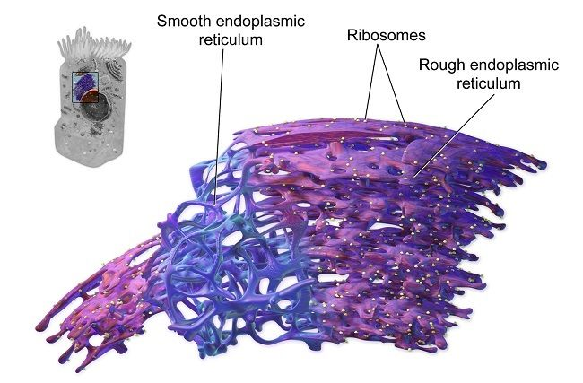 Endoplasmic Reticulum | Nuclear membrane, Cells project ...
