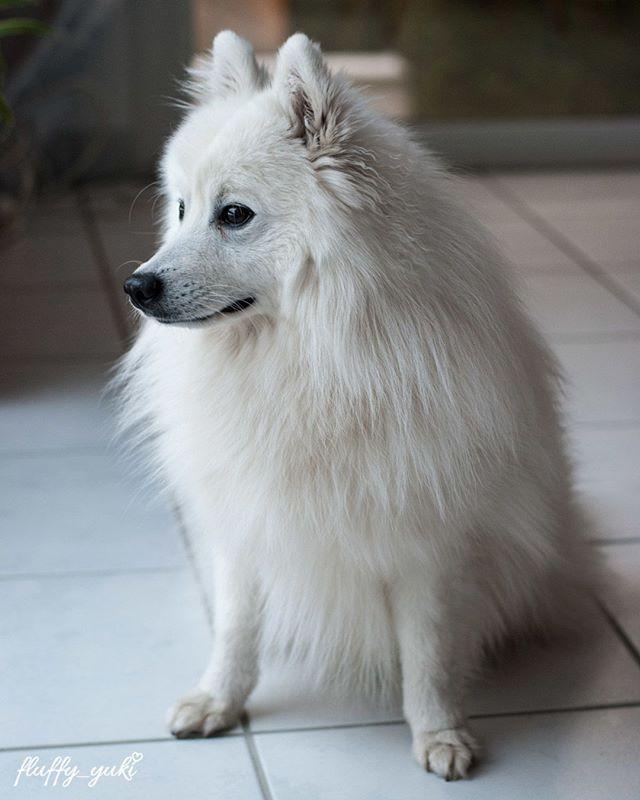 Japanese Spitz - on Instagram #dog #spitz #photography