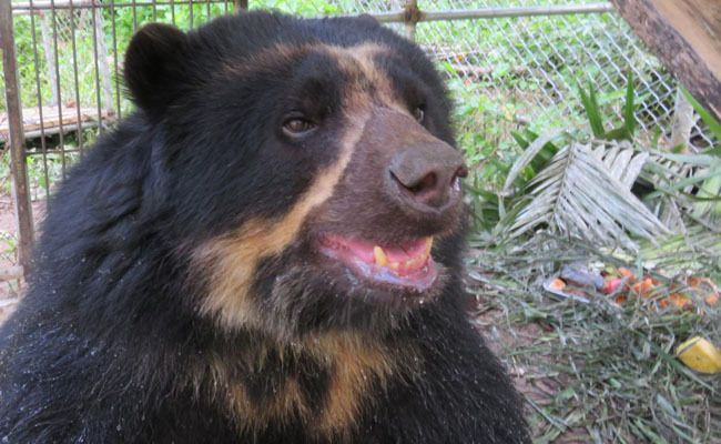 "Two More ""Paddington Bears"" Rescued From Illegal Zoo and Returned to the Jungle 