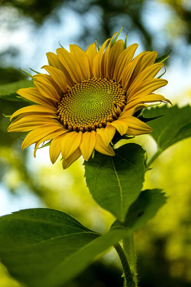First Sunflower by Jeff Carter on 500px