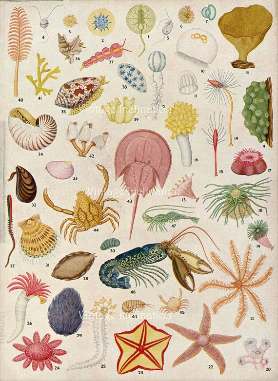 1950s OCEAN LIFE original antique sea life ocean print