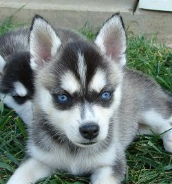 "Not a pomsky, but an Alaskan Klee Kai which is a miniature Husky breed which get to be anywhere between 13-17"" tall....and I sooo want one"