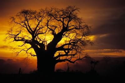 My husband was able to see these trees when he was stationed in Somalia. He said the Baobab trees are amazing to see in person!