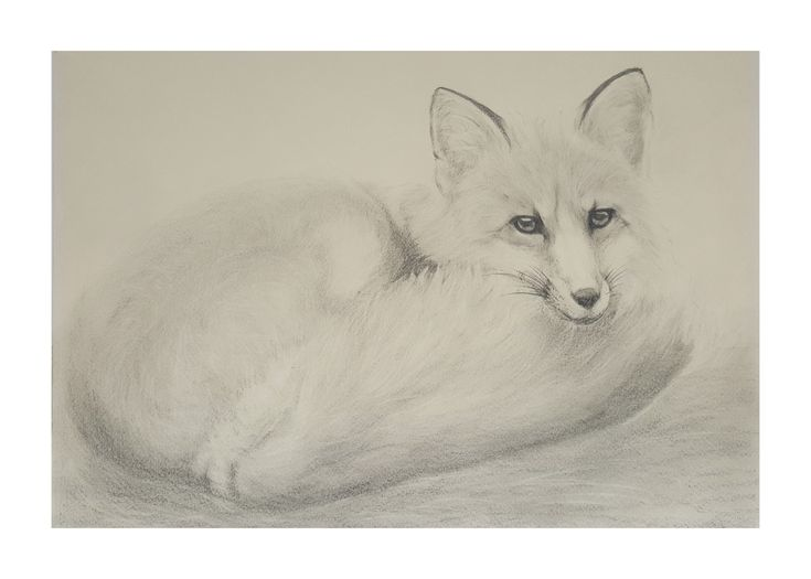 Fox realistic drawing by Magdalena Greinert