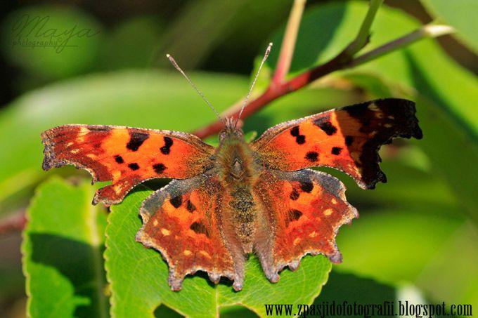 butterfly/Polygonia c-album L http://zpasjidofotografii.blogspot.com/