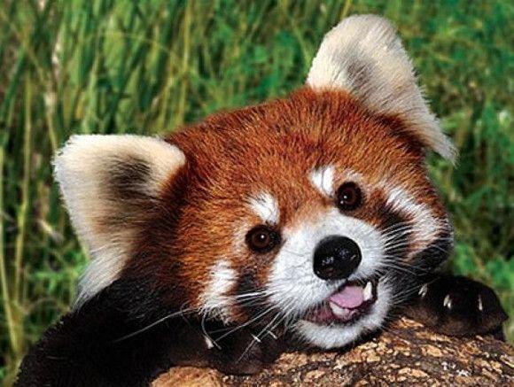 Animales mas lindos del mundo.oso panda rojo