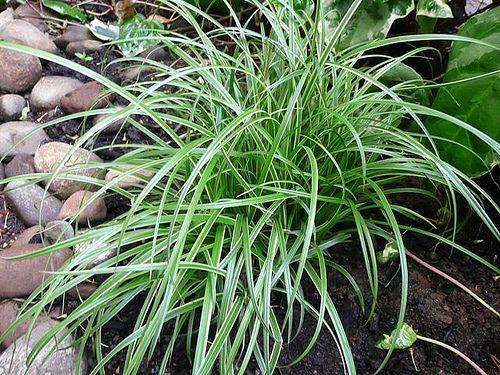 8 best dentention basion plants images on pinterest. Black Bedroom Furniture Sets. Home Design Ideas