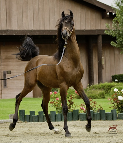 Varian Arabians: Giddyup Horses, Horses Mul, Beautiful Hors, Things Hors, Paarden Hors, Creatures Animal, Varian Arabian Beautiful, Animal Wildlife, Arabian Horses