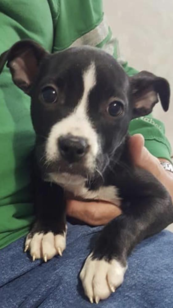 American Pit Bull Terrier dog for Adoption in Wenonah, NJ. ADN-707612 on PuppyFinder.com Gender: Female. Age: Baby
