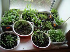 Советы по выращиванию цветочной рассады.