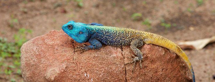 Tree agama - Kapama diversity of species
