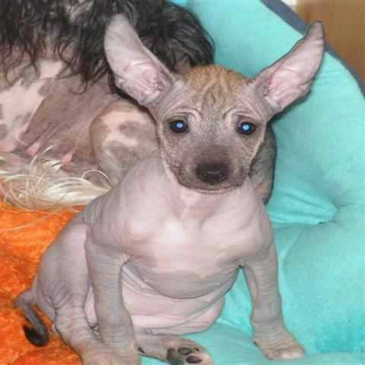 naked chihuahua 17 best images about chinese cresent on pinterest 6038