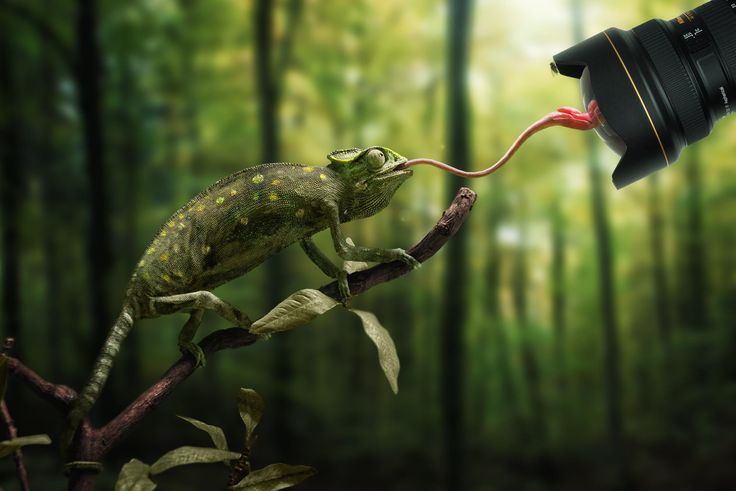 Just a chameleon action shooting with bait-lens by John Wilhelm on 500px