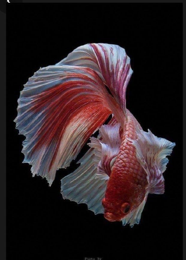 Pin Oleh Puspita Diah Adelia Di Cupang Hias Di 2020 Ikan Cupang Ikan Hewan