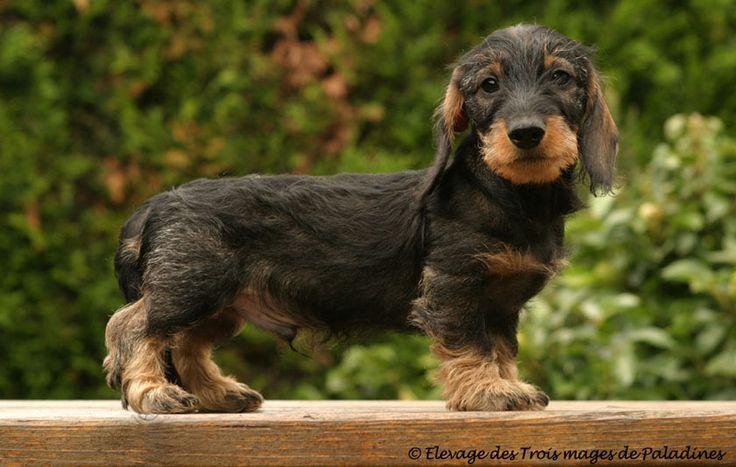 Wire-haired Dachshund puppy | Dogs & Other Animals | Pinterest