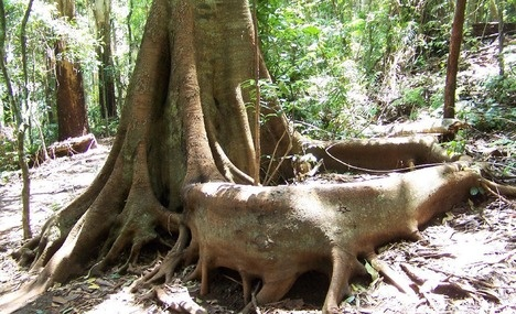Unusual Tree base at Mount Tamborine