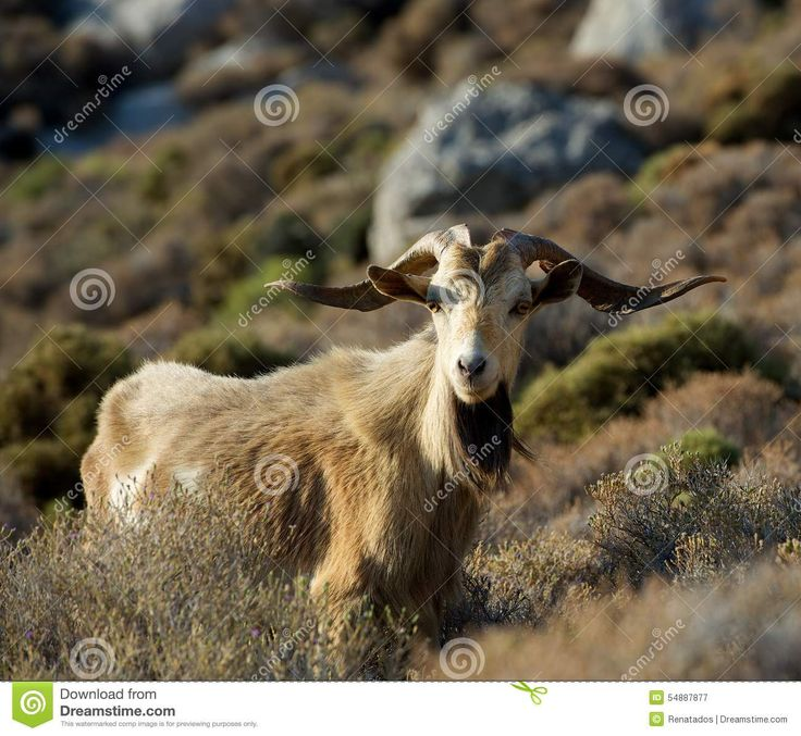One Big Wild Goat In The Mountains On Early Morning Sunrise ...