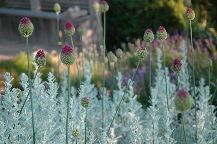 Allium sphaerocephalon (drumstick allium) w/ artemesia