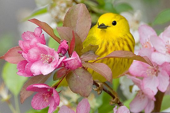 Yellow Warbler: Cherries Blossoms, Pink Flower, Nature, Birds Of Paradis, Yellow Warbler, Beautiful Birds, Colors Birds, Feathers, Animal