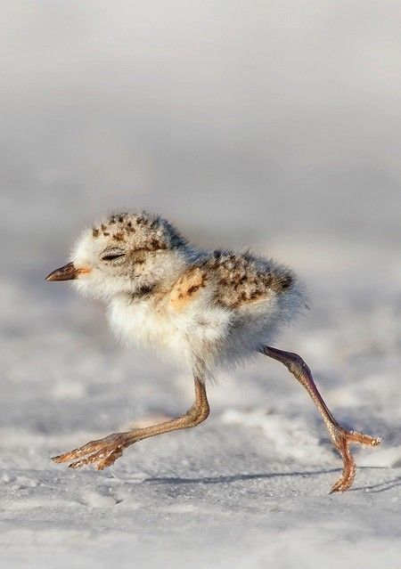 (training for cross country skiing) Snowy Plover (Charadrius nivosus) [ WoodCarvedBirds.com ]