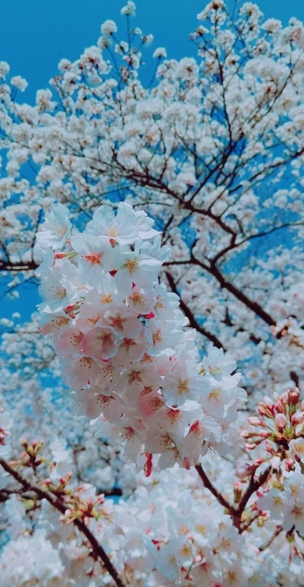 Pin Oleh Habibah Tien Di Sakura