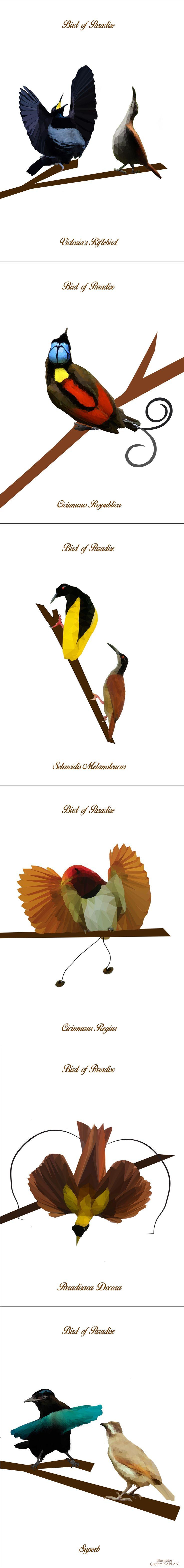 #proje #kuş #cennetkuşları #yenigineadası #tasarım #illüstrasyon #poligon #birds #drawing #polygon #illustration #graphicdesing #birdsofparadise #nationalgeoraphic #timlaman #edscholes #Papua #newguinea