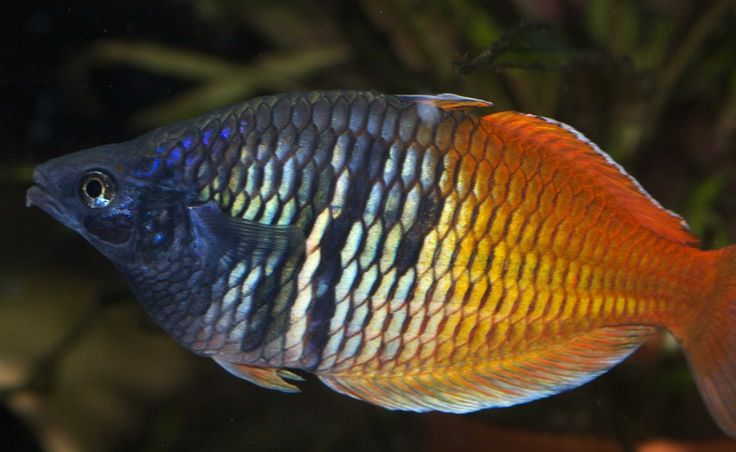 17 best images about rainbow fish on pinterest lakes 55 for Turquoise rainbow fish
