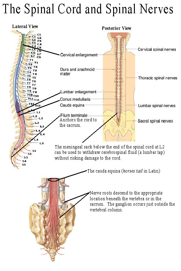 At 31 places along the spinal cord the dorsal and ventral roots come together to form spinal nerves. Spinal nerves contain both sensory and motor fibers, as do most nerves. Spinal nerves are given numbers which indicate the portion of the vertebral column in which they arise.