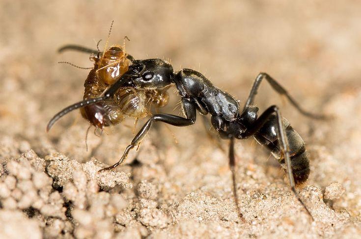 Myror vårdar skadade kamrater