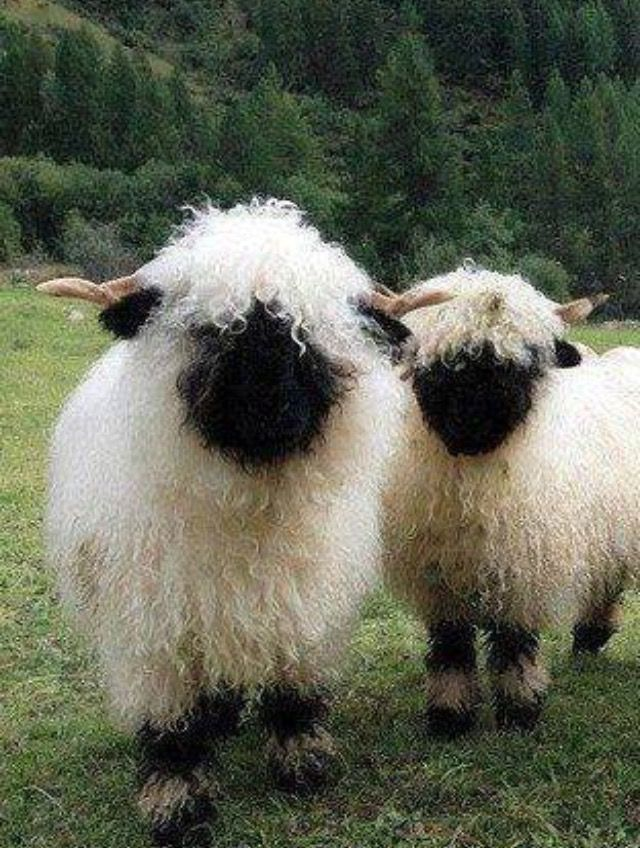 Valaise black nose sheep