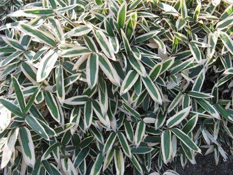 11月29日の誕生日の木は「クマザサ(隈笹)」です。 山地に生育する大型のササ類一般、日本にある14属600種もあるチシマザサ、スズタケ、クマイザサ、ミヤコザサなどなどを指す場合も多くありますが、本来はイネ科ササ属の植物の一種です。 原産地は京都府だとされています。北海道から九州まで、日本各地の山野に広く分布していますが、全国的な分布は各地で栽培されたものが野生化したものとも言われています。 草丈は1m~2m。葉の長さが20cmを越え、幅は4cm~5cmとなります。葉は越冬の際に冬の低温によって特に弱い葉の縁部分が枯れて隈取りができます。若葉には隈取りはありません。クマザサの成長期間はおよそ80日~120日。成長が終わるとその後60年から120年間枯れないとされています。 クマザサの名前の由来は、葉の縁に白い「隈取り」が現れることによります。ちなみに、ササ属の属名表記は「Sasa」。日本語の「ササ」に由来します。日本語の「ササ」は、その葉ずれの音に由来します。