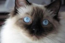 ragdoll cats for sale in nc wallpapers for android