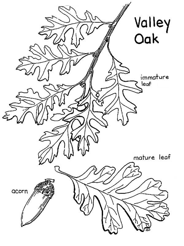 oak tree  valley oak tree leaves and fruit coloring page