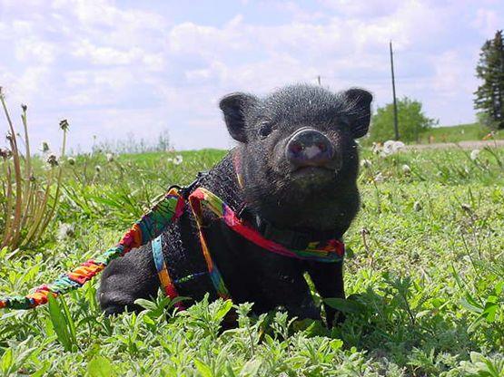 Vietnamese pot bellied pig
