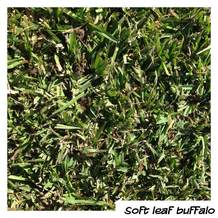 Soft Leaf Buffalo - the granddaddy of all buffaloes. Some say the original and the best?