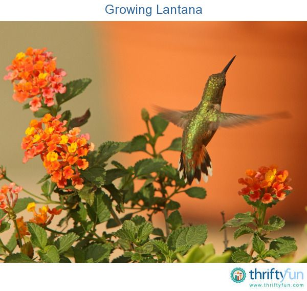 A Widespread Noxious Cool Season Annual: 22 Best Images About Container Gardens For Hummingbird
