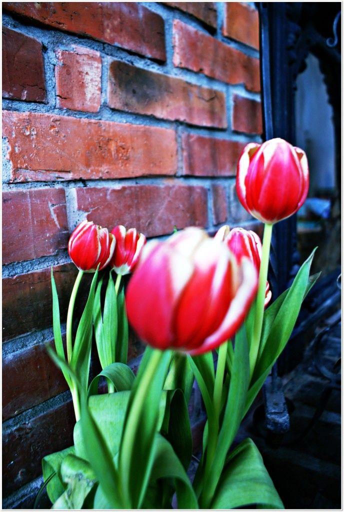 Tulipany i cegła / Tulips and brick - beautiful combination