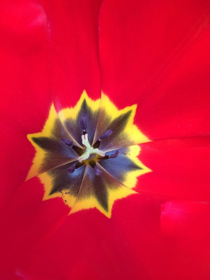 Spring tulip - Rotorua
