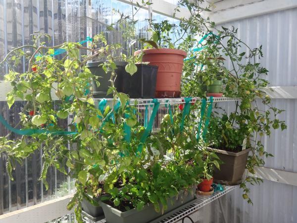 Greenhouse - corrugated plastic and tin