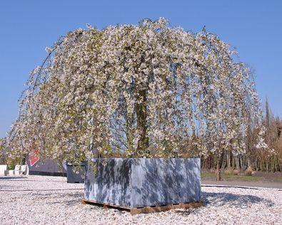 Prunus yedoensis 'Shidare-yoshino'   Trees in containers