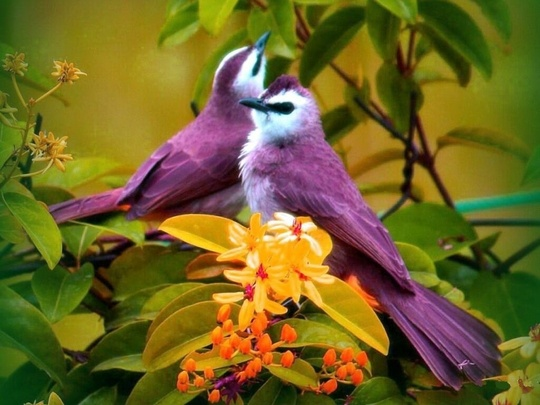 lavender love birds..