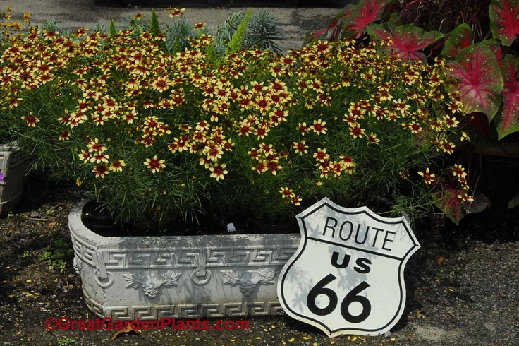 Coreopsis route 66 hardy perennial for the sun garden for Hardy plants for the garden