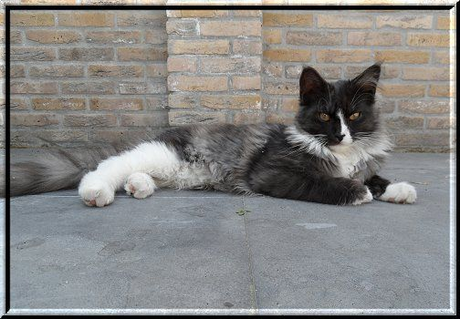 #MaineCoon #Black #Smoke #White #Cats Chenango's Pantera