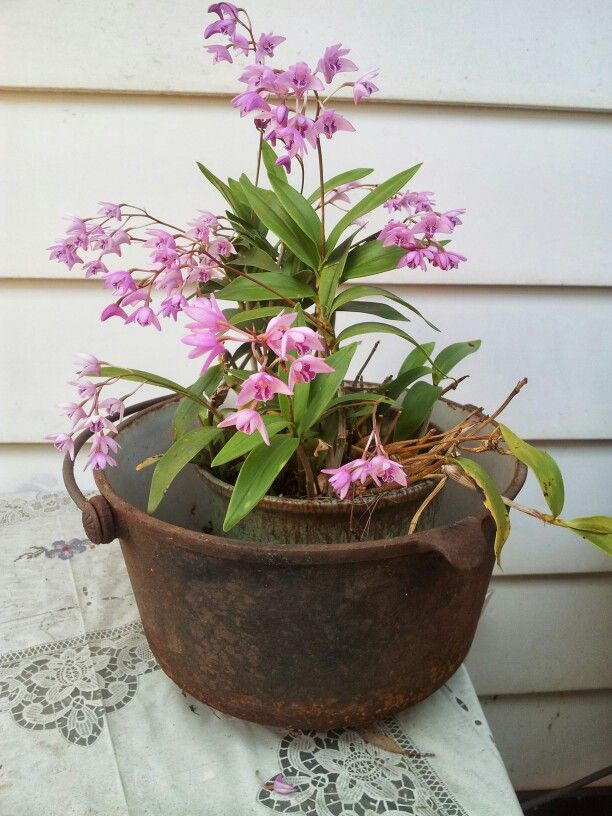 Australian Native Orchids.