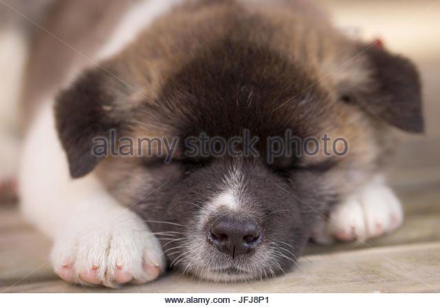Image Result For American Akita Puppy Akita Puppies American